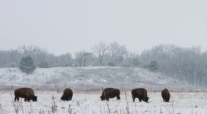 The Magical Place In Minnesota Where You Can View A Wild Bison Herd