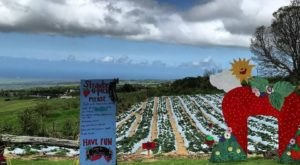Take The Whole Family On A Day Trip To This Pick-Your-Own Strawberry Farm In Hawaii