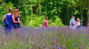 Get Lost In This Beautiful 60-Acre Lavender Farm In North Carolina