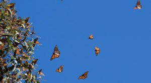 Millions and Millions of Monarch Butterflies Are Headed Straight For North Carolina This Spring