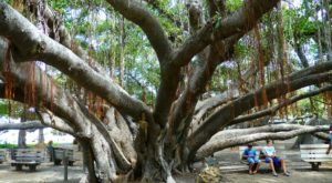 There's No Other Historical Landmark In Hawaii Quite Like This 146-Year-Old Tree