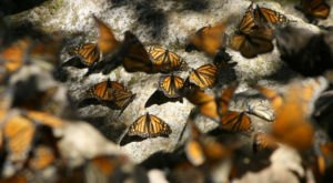 Millions Of Monarch Butterflies Are Headed Straight For New York This Spring