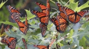 Up To 300 Million Monarch Butterflies Are Headed Straight For South Carolina This Spring