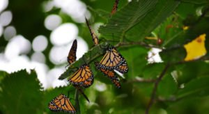 Millions Of Monarch Butterflies Are Headed Straight For Minnesota This Spring