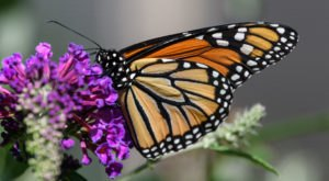 Millions Of Monarch Butterflies Are Headed Straight For Iowa This Spring