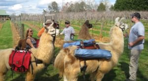 Go Hiking With Llamas In North Carolina For An Adventure Unlike Any Other