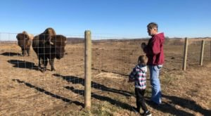 This Iowa Ranch Is Home To 300 Bison – And They Can't Wait To Meet You!