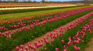 A Trip To New Jersey's Neverending Tulip Field Will Make Your Spring Complete