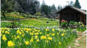 Get Lost In This Beautiful 36-Acre Daffodil Farm In Northern California