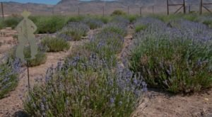 Nevada's Annual Lavender Festival Belongs On Your Springtime Bucket List