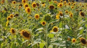 This U-Pick Sunflower Farm In Florida Is The Perfect Way To Spend An Afternoon