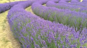 Get Lost In This Beautiful 100-Acre Lavender Farm In Illinois