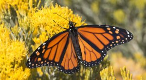 Thousands Of Monarch Butterflies Are Headed Straight For Colorado This Spring