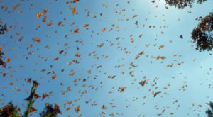 300 Million Monarch Butterflies Are Headed Straight For Massachusetts This Spring