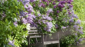 You'll Be In Flower Heaven At This Incredible American Lilac Festival
