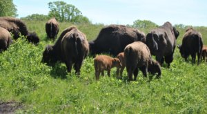 The Magical Place In North Dakota Where You Can View A Wild Bison Herd