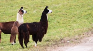 There's A Bed and Breakfast On This Llama Farm In Massachusetts And You Simply Have To Visit