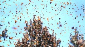 Millions of Monarch Butterflies Are Headed Straight For Illinois This Spring