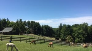 There's A Bed and Breakfast On This Alpaca Farm In Ohio And You Simply Have To Visit