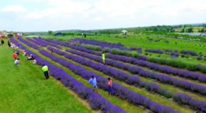 Maryland's Annual Lavender Festival Belongs On Your Summer Bucket List