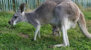 There's A Wallaby Ranch In Washington And It's As Adorable As It Sounds