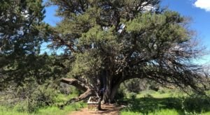 There's No Other Historical Landmark In Arizona Quite Like This 2,000-Year-Old Tree