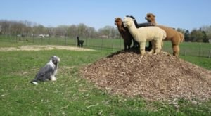 Visit This Detroit Alpaca Farm For A Fun And Fuzzy Adventure