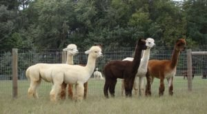 Visit This Delaware Alpaca Farm For A Fun And Fuzzy Adventure