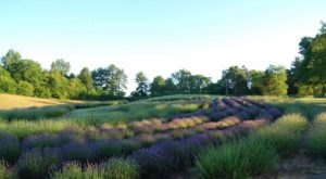 Get Lost In This Beautiful Lavender Farm In Wisconsin