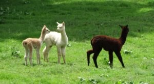 Visit This Kentucky Alpaca Farm For A Fun And Fuzzy Adventure