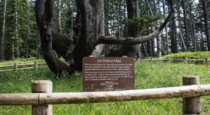There's No Other Historical Landmark In Oregon Quite Like This 300-Year-Old Tree