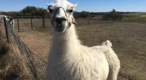 Visit This Nebraska Alpaca Farm For A Fun And Fuzzy Adventure