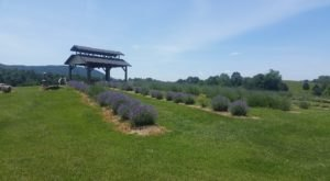 This Lavender Farm Is Located On A Virginia Winery And The Combination Is Magical