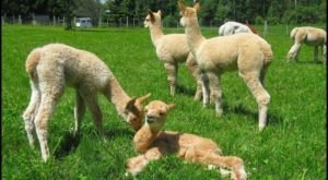 Visit This Vermont Alpaca Farm For A Fun And Fuzzy Adventure