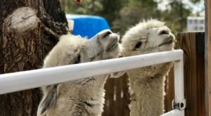 Visit This Colorado Alpaca Farm For A Fun And Fuzzy Adventure