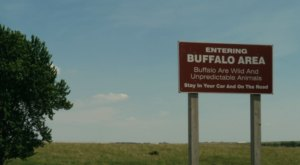 The Magical Place In Iowa Where You Can View A Wild Bison Herd