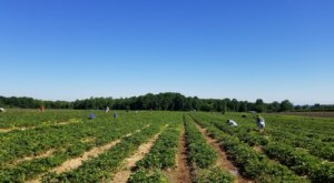 Take The Whole Family On A Day Trip To This Pick-Your-Own Strawberry Farm In New York