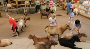 Play With Goats At This Cincinnati Zoo For An Absolutely Adorable Adventure