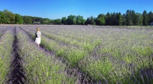 Get Lost In This Beautiful 20-Acre Lavender Farm In New York