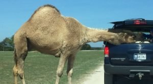 Adventure Awaits At This Drive-Thru Safari Park Near Austin