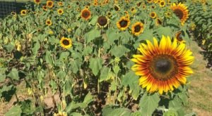 This Upcoming Sunflower Festival In Missouri Will Make Your Summer Complete