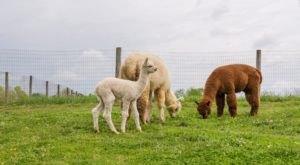 Visit This Cincinnati Alpaca Farm For A Fun And Fuzzy Adventure
