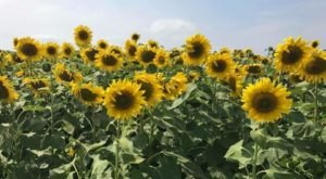 There's A 7-Acre Sunflower Maze In Wisconsin That's Just As Magnificent As It Sounds