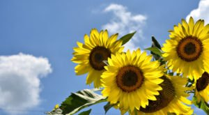This Upcoming Sunflower Festival In Tennessee Will Make Your Summer Complete