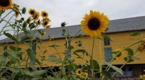 This Upcoming Sunflower Festival In Pennsylvania Will Make Your Summer Complete