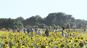 This Upcoming Sunflower Festival In North Carolina Will Make Your Summer Complete