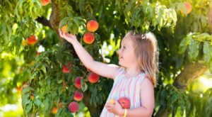 You Can Pick The Most Delicious Peaches All Summer Long At This South Carolina Orchard