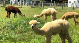 Visit This Virginia Alpaca Farm For A Fun And Fuzzy Adventure