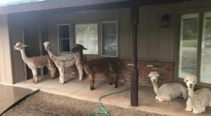 There's A Bed And Breakfast On This Alpaca Farm In Arizona And You Simply Have To Visit
