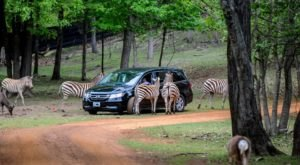 Adventure Awaits At This Drive-Thru Safari Park In Texas